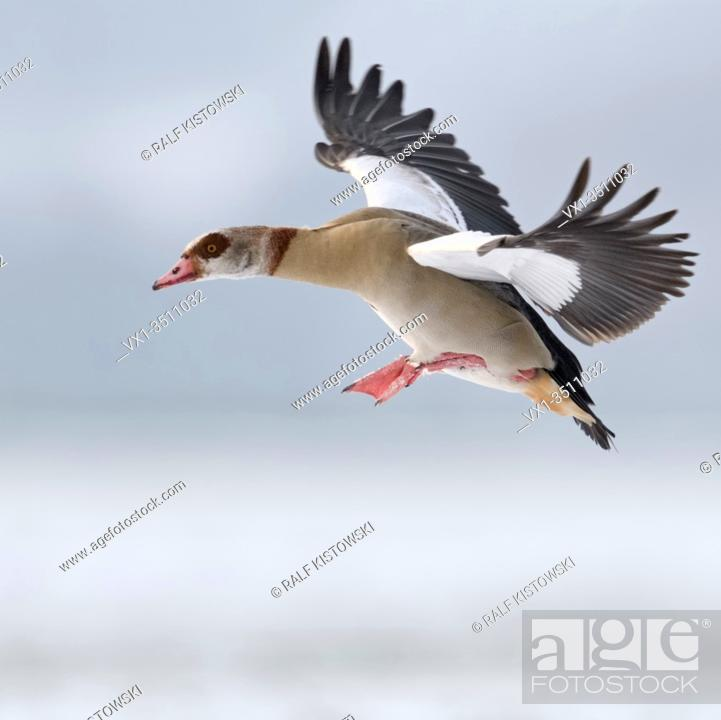Stock Photo: Egyptian Goose / Nilgans (Alopochen aegyptiacus) in winter, flying, just before landing, in wintry atmosphere, wildlife, Europe.
