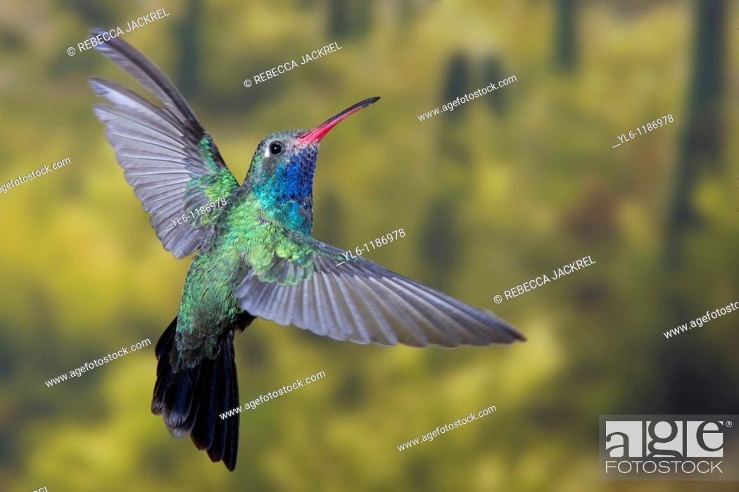 Stock Photo: North America, USA, Arizona, Madera Canyon, Santa Rita Lodge  Male Broad-billed hummingbird in flight.