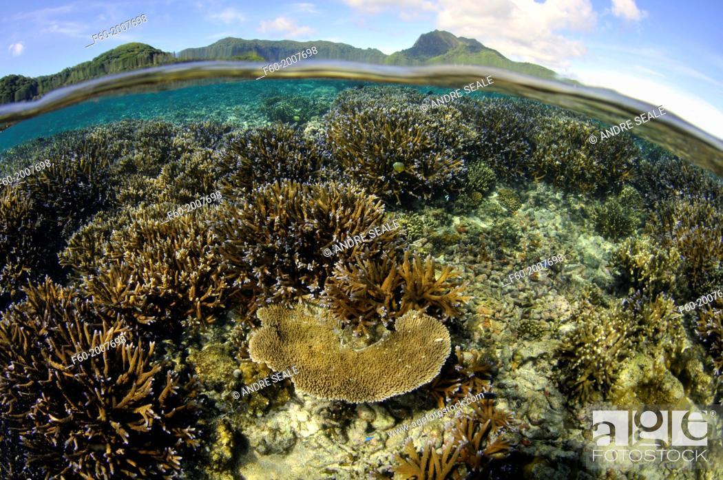 Stock Photo: Shallow coral reef with several Acropora species, Fagaalu Bay, Pago Pago, Tutuila Island, American Samoa.