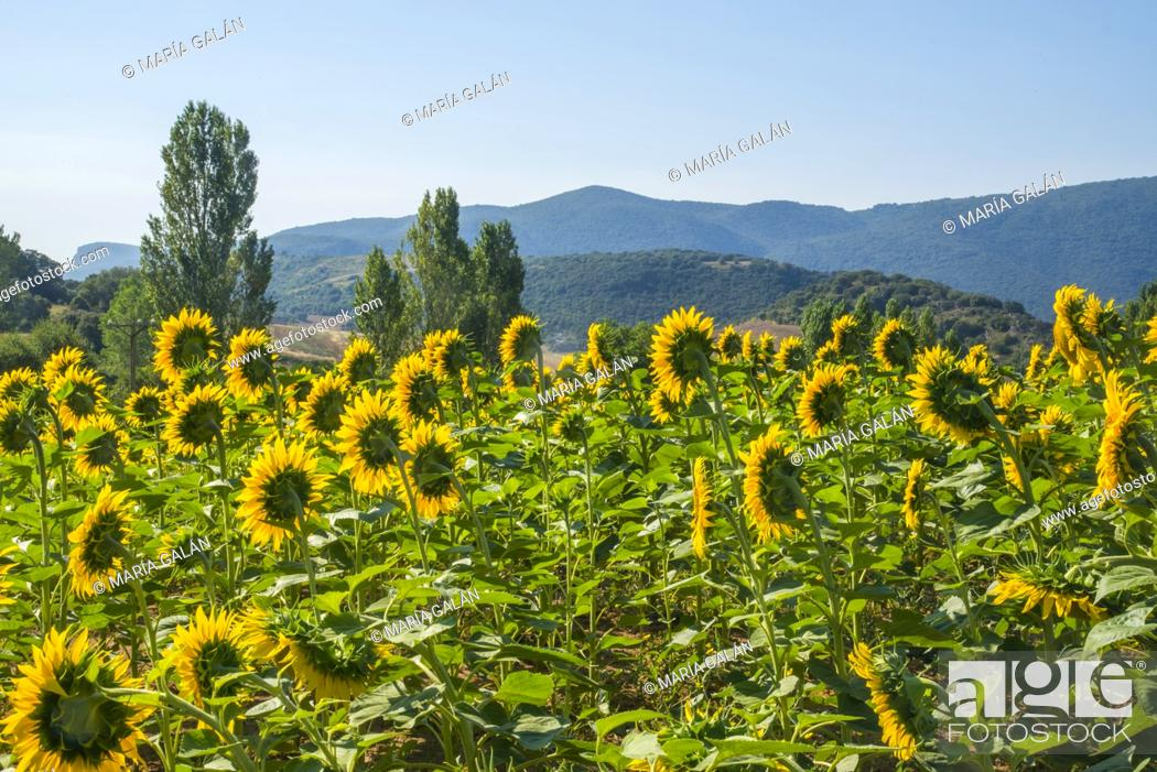 Stock Photo: Sunflowers field. Encio, Burgos province, Castilla Leon, Spain.