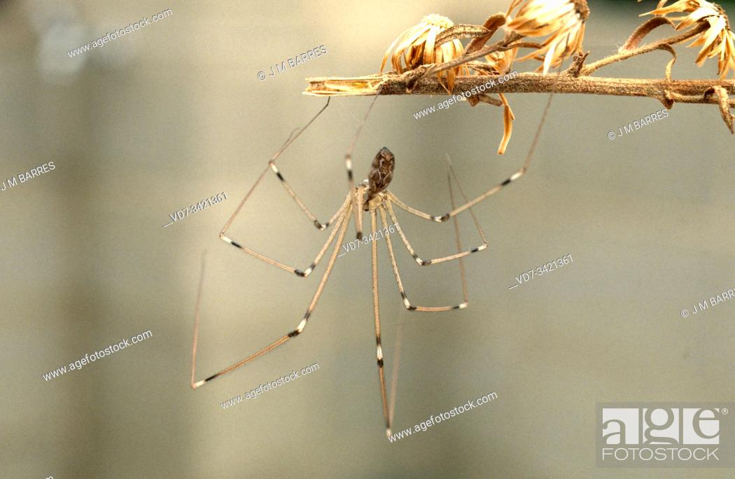 Stock Photo: Longbodied cellar spider or skull spider (Pholcus phalangioides) is a cosmopolitan spider.