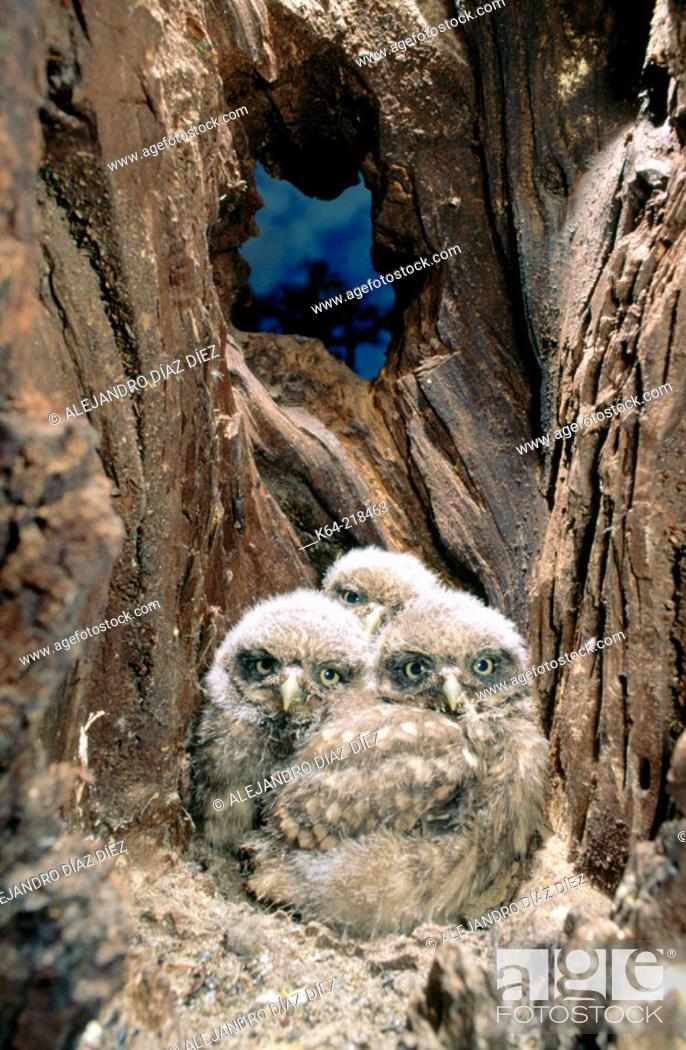 Stock Photo: Little Owls (Athene noctua) in nest.