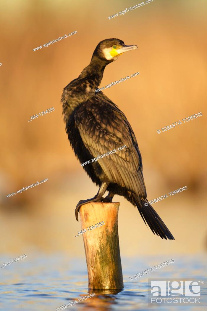 Stock Photo: Cormorant Phalacrocorax carbo at S'albufera, Majorca, Spain.