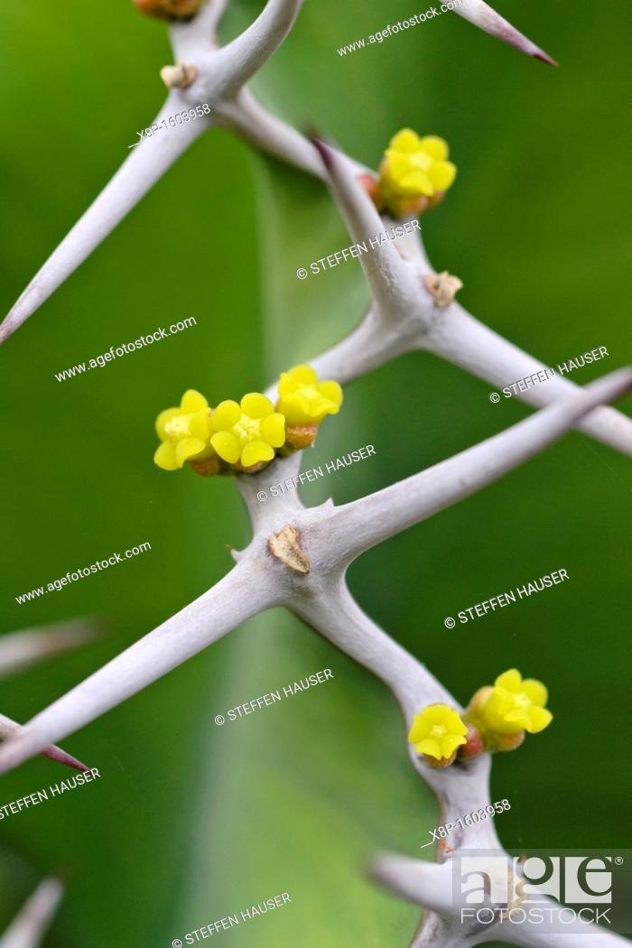 Imagen: Big-horned spurge Euphorbia grandicornis.