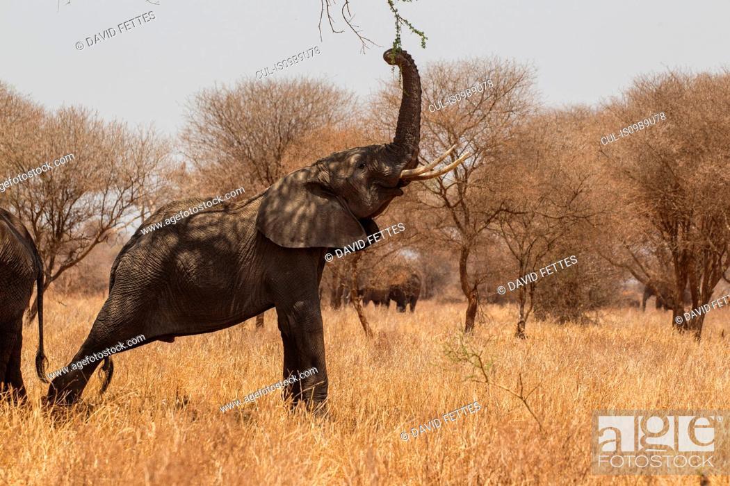 Stock Photo: Elephant, Loxodonta africana, Tarangire National Park, Tanzania.