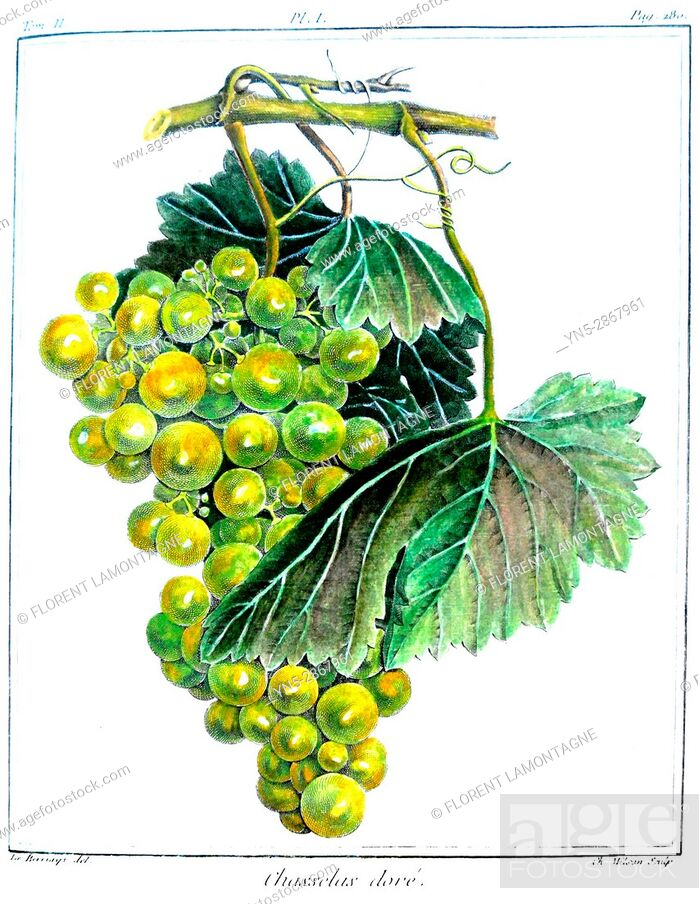 Stock Photo: Old botanical board of the grappe species Chasselas dore.