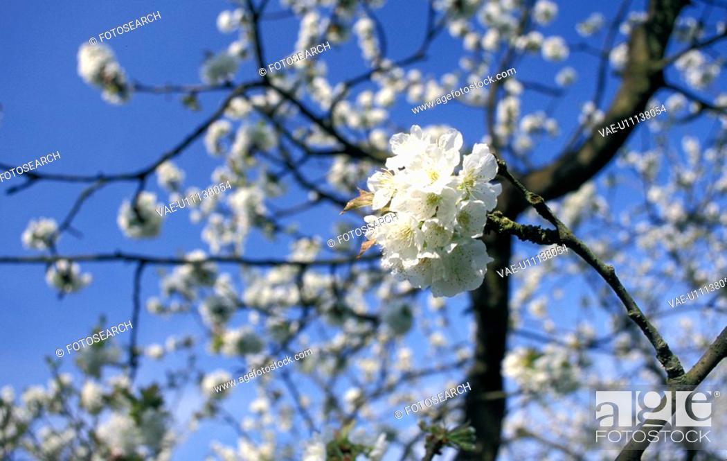 Stock Photo: blauphoton, alexander, apple tree, apple, apfelbluete, abloom.