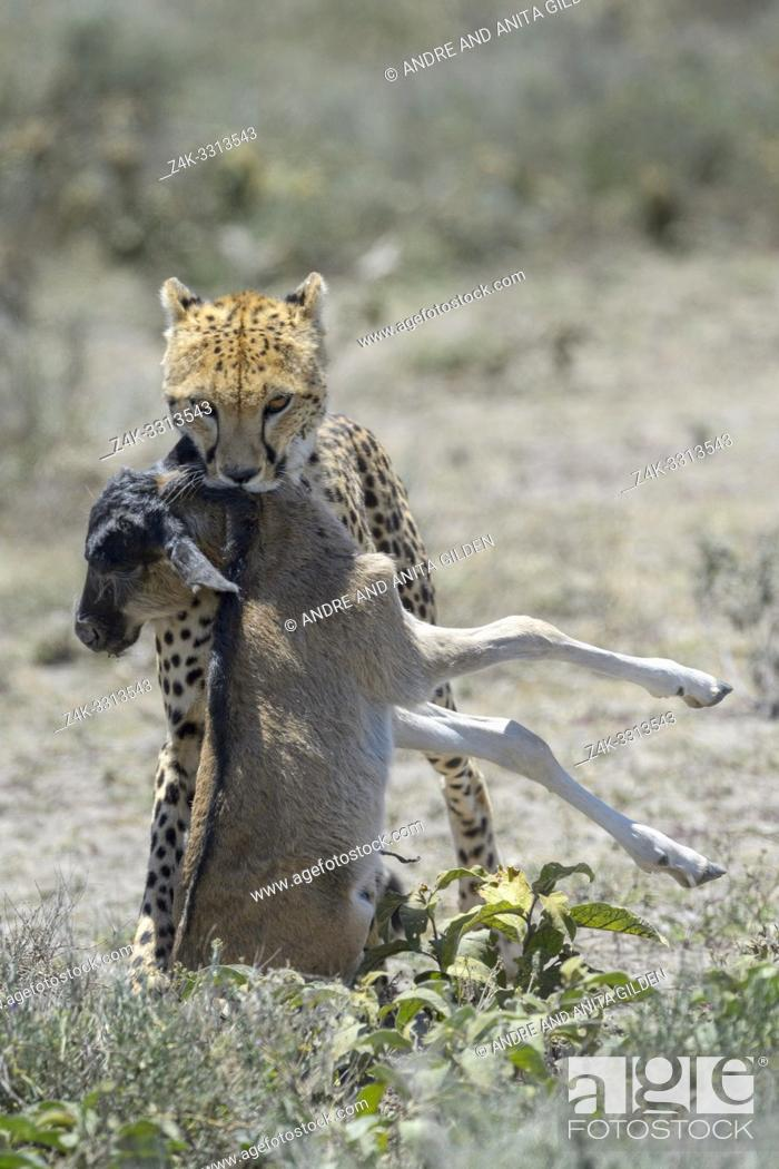 Stock Photo: Cheetah (Acinonyx jubatus) walking with a just killed wildebeest (Connochaetes taurinus) calf in mouth, Ngorongoro conservation area, Tanzania.