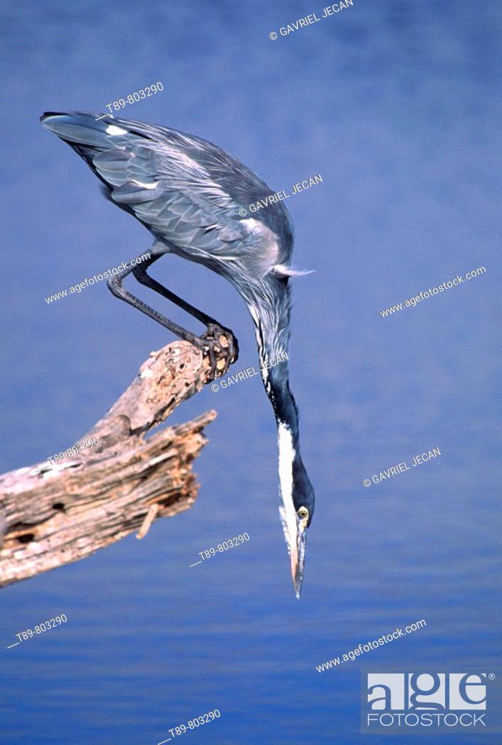 Stock Photo: The Grey Heron Ardea cinerea.
