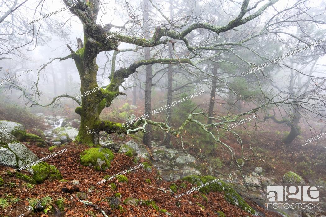 Stock Photo: Oaks with moss, leaves, stream and fog at Graja gorge in Sierra de Gredos. Avila. Spain. Europe.