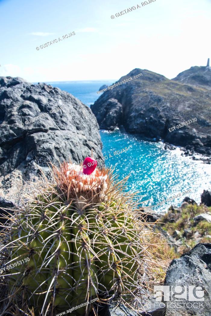 Stock Photo: pichigüey, pitigüey gran roque -Los Roques Island Melocactus curvispinus.