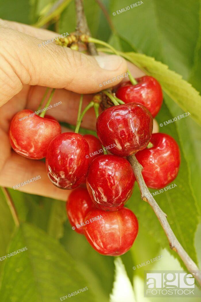 Stock Photo: Cherries.