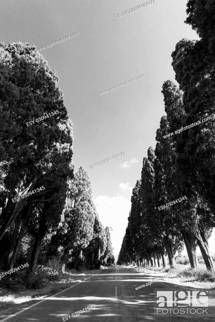 Stock Photo: Cypress avenue of Saint Guido, Bolgheri Tuscan IT- November 2, 2014. View of the cypress avenue of Saint Guido in black and white.