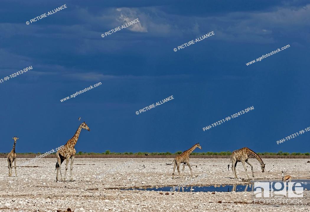 Stock Photo: 26 November 2019, Namibia, Etosha-Nationalpark: Giraffes stand at a waterhole in Etosha National Park. Photo: Oliver Berg/dpa.