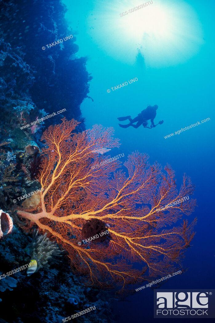 Stock Photo: Gorgonian Sea Fan & diver Manado, North Sulawesi, Indonesia.