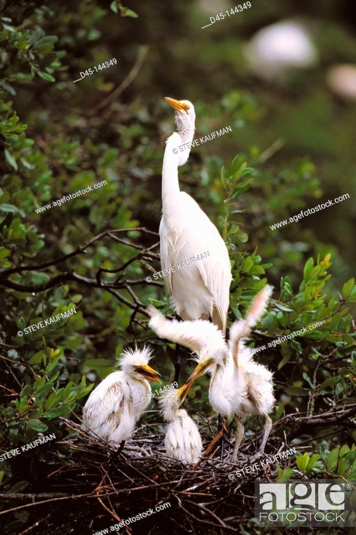 Stock Photo: Great Egret (Casmerodius albus). Louisiana. USA.