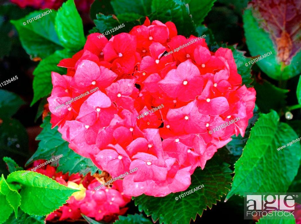 Stock Photo: plants, nature, hydrangea, flower, plant, film.