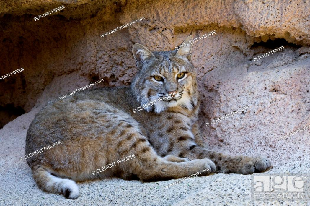 Stock Photo: Bobcat (Lynx rufus / Felis rufus) resting at cave entrance, native to southern Canada, North America and Mexico.