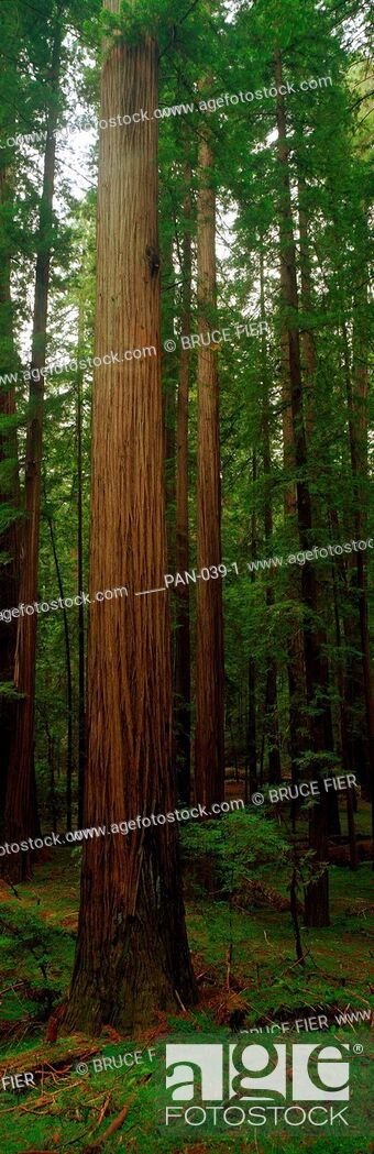 Stock Photo: Giant Trees, Avenue of the Giants, Redwood National Park, California.