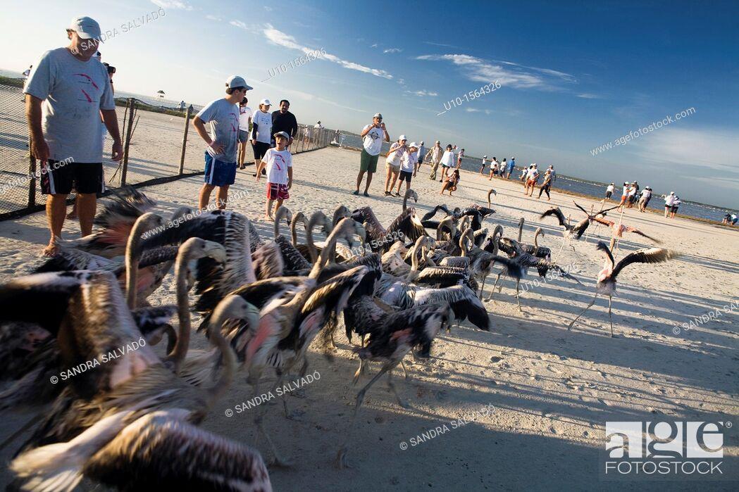 Stock Photo: Putting rings and taking measures of flamingos, Reserva de la Biosfera Ria Lagartos, Punta Mecoh, Quintana Roo, Mexico.