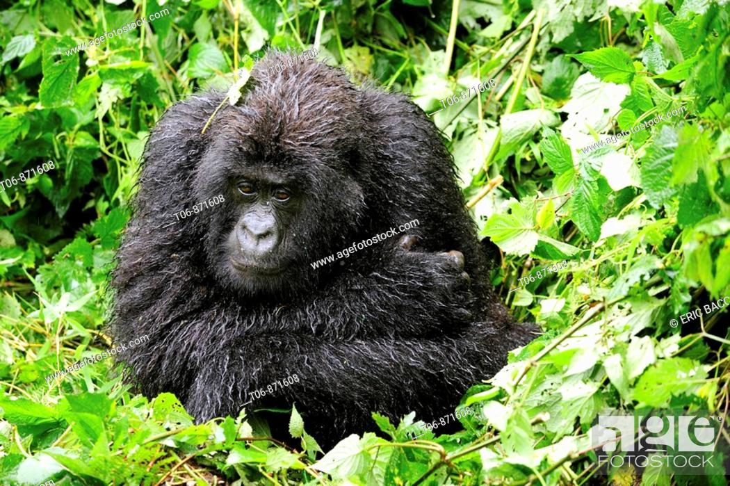Stock Photo: Female mountain gorilla protecting herself from the cold by putting the arms around her body (Gorilla beringei beringei) Volcanoes National Park, Rwanda, Africa.