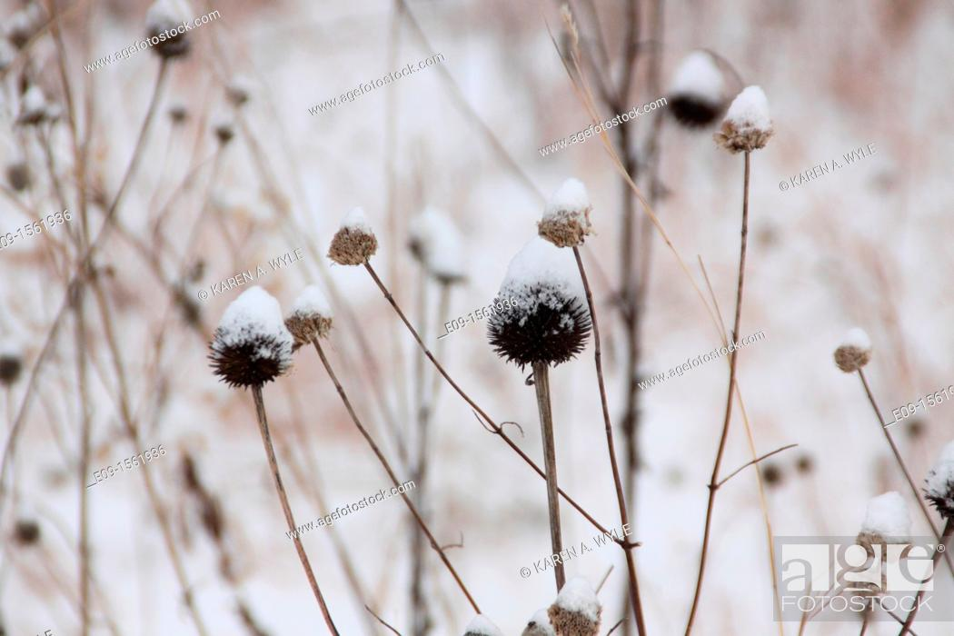 Stock Photo: coneflowers, aka echinacea, in winter, brown, with snow on them, sepia-toned.