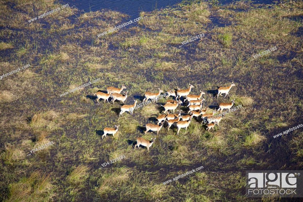 Stock Photo: Aerial view of Red Lechwes (Kobus leche),in the floodplain. Okavango Delta, Botswana. The Okavango Delta is home to a rich array of wildlife.