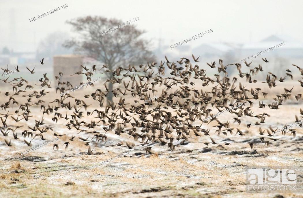 Stock Photo: Common Starling Sturnus vulgaris flock, feeding on farmland, in flight over frost covered stubble field, Lancashire, England, winter.