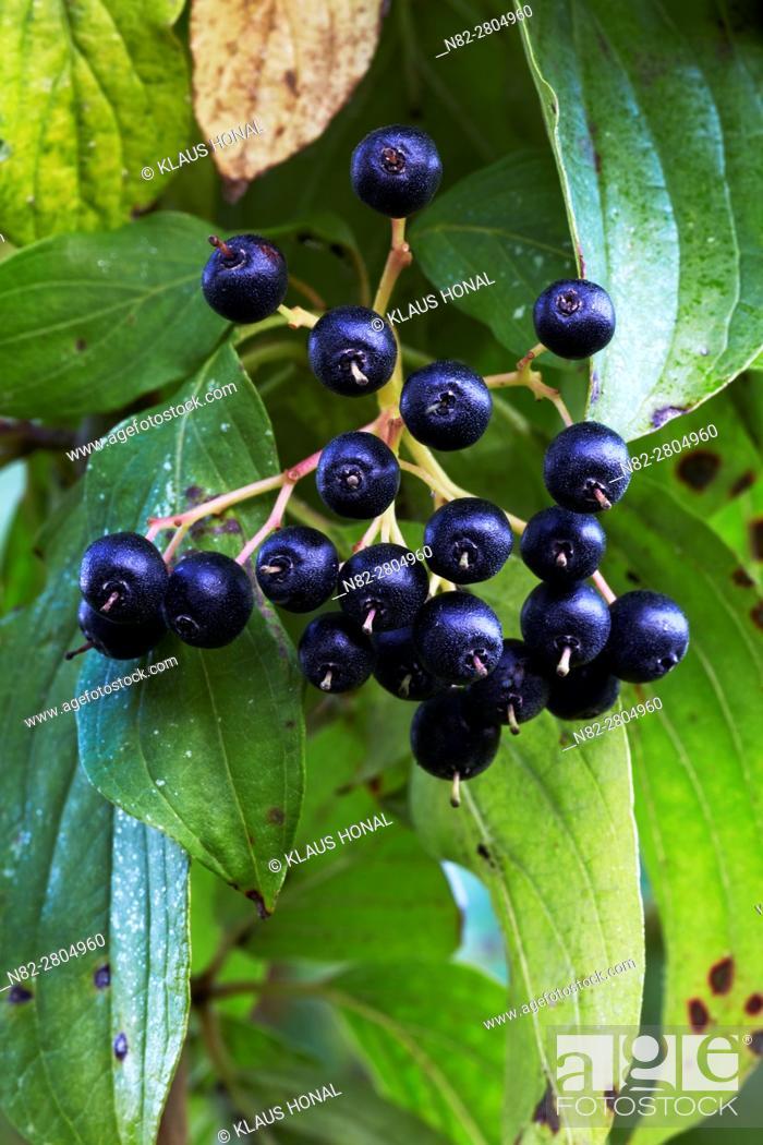 Photo de stock: Dogwood (Cornus sanguinea) berries, the ripe black-blue stone fruits are a real treat for many birds in the autumn - Region Hesselberg, Bavaria/Germany.