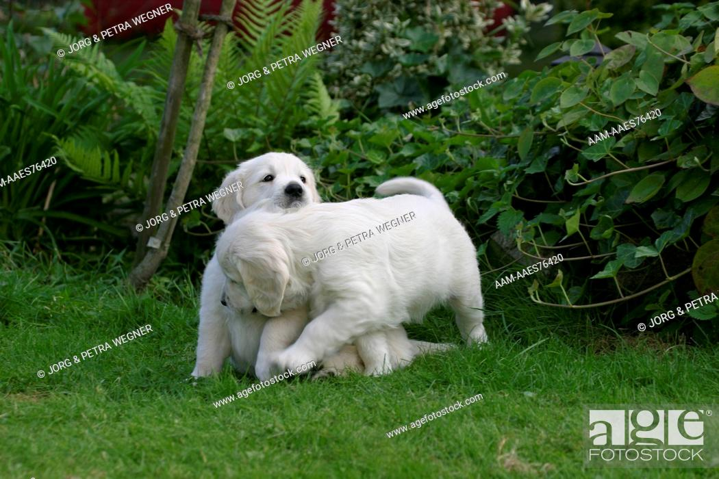Stock Photo: Golden Retriever, puppies, 7 weeks playing.