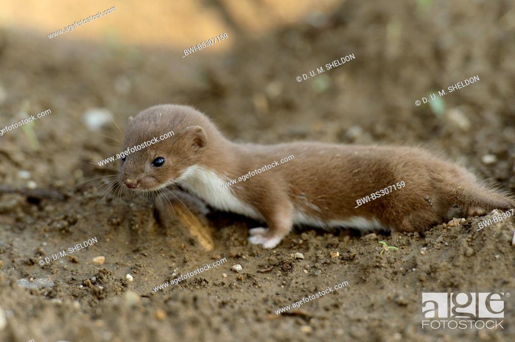 Stock Photo: least weasel (Mustela nivalis), juvenile on an acre, Austria, Styria.