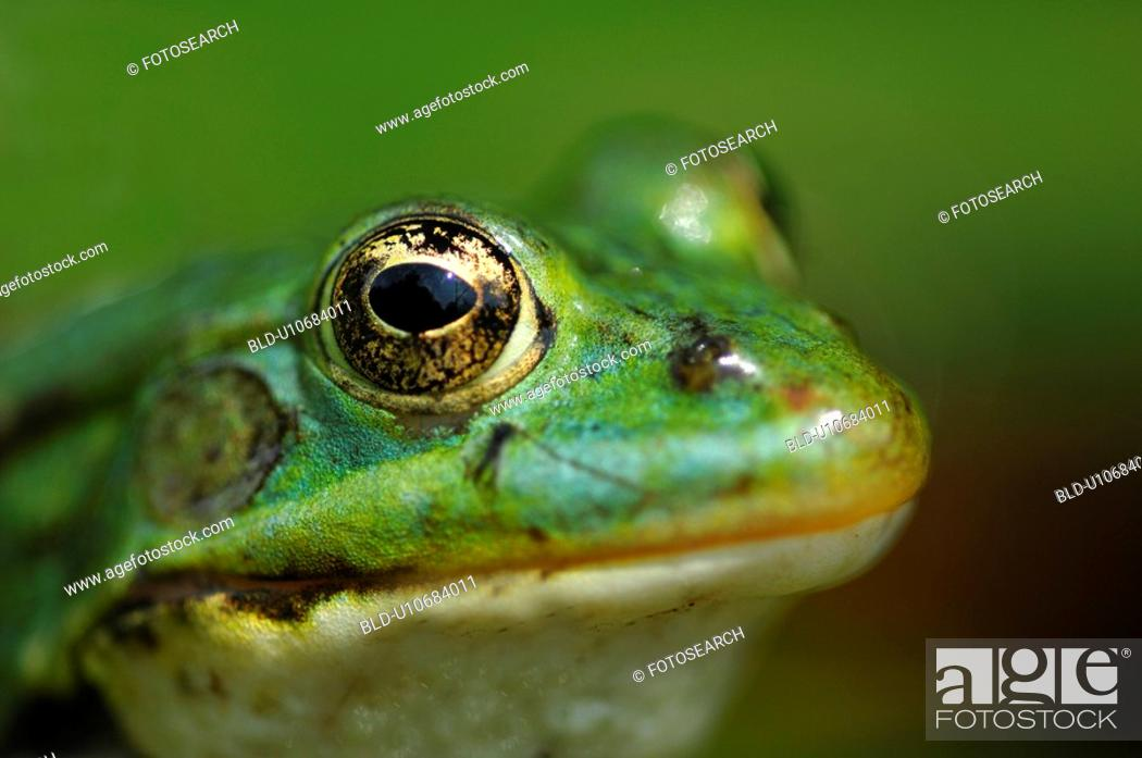 Stock Photo: details, animal, detail, close-up, animals, amphibian.