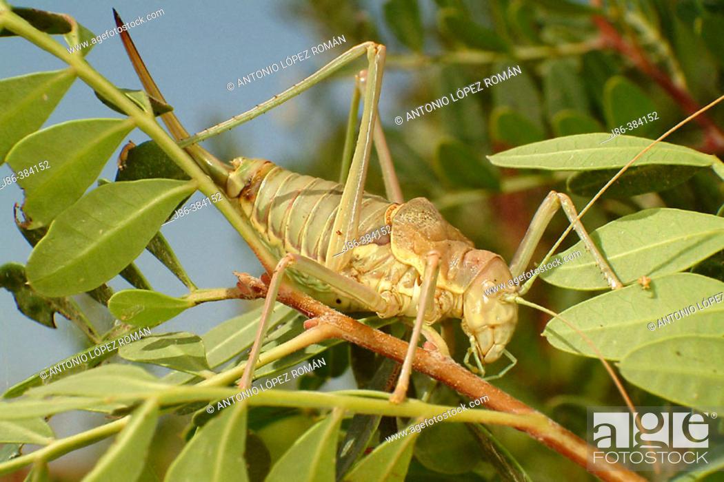 Stock Photo: Mediterranean Katydid (Ephippiger ephippiger).