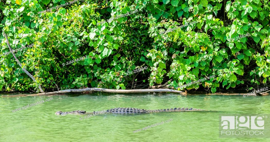 Stock Photo: Estuarine crocodile Crocodylus porosus. Daintree National Park. Queensland. Australia.