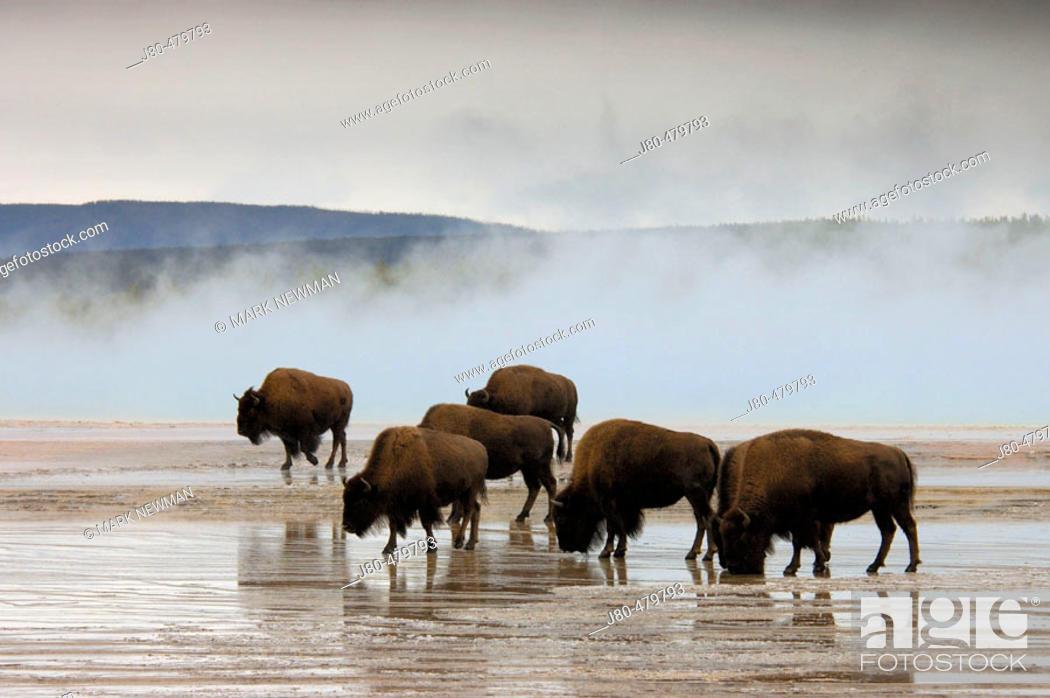 Stock Photo: Bison. Yellowstone National Park. Wyoming. USA.