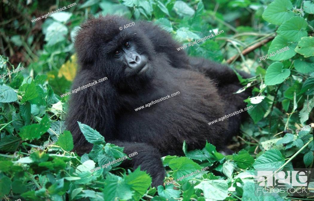 Stock Photo: Mountain Gorilla female Zaire Congo Gorilla gorilla beringei.