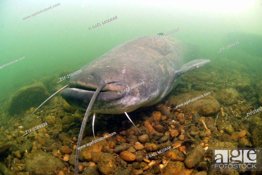 Stock Photo: Head of a big european catfish or wels catfish swimming in Rhône river, France. Silurus glanis.