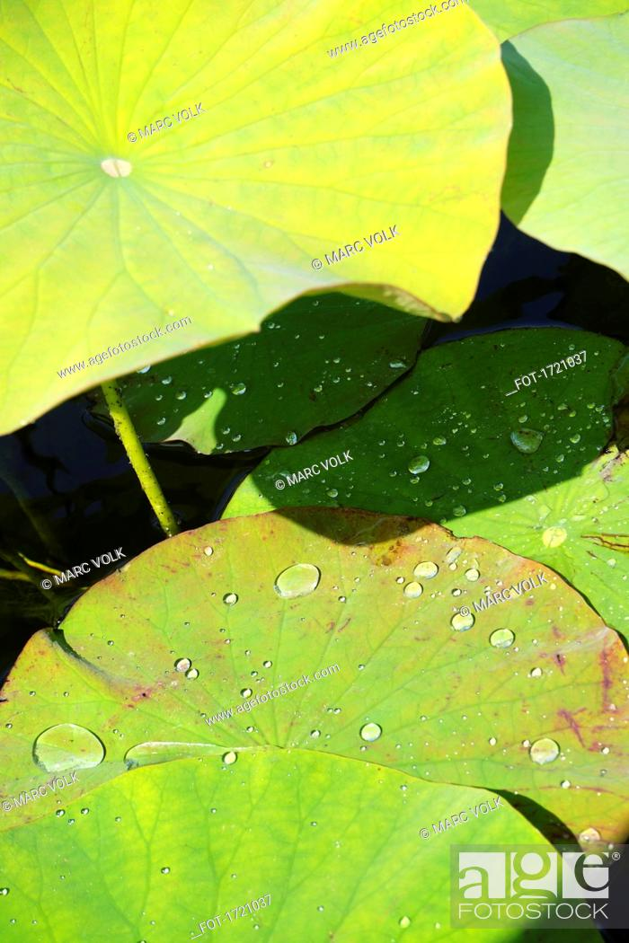 Stock Photo: High angle view of lotus water lily leaves.
