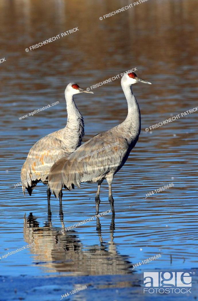 It Was Twilight And Sandhill Cranes >> Grus Canadensis Sandhill Crane Cranes Birds Wa Stock Photo