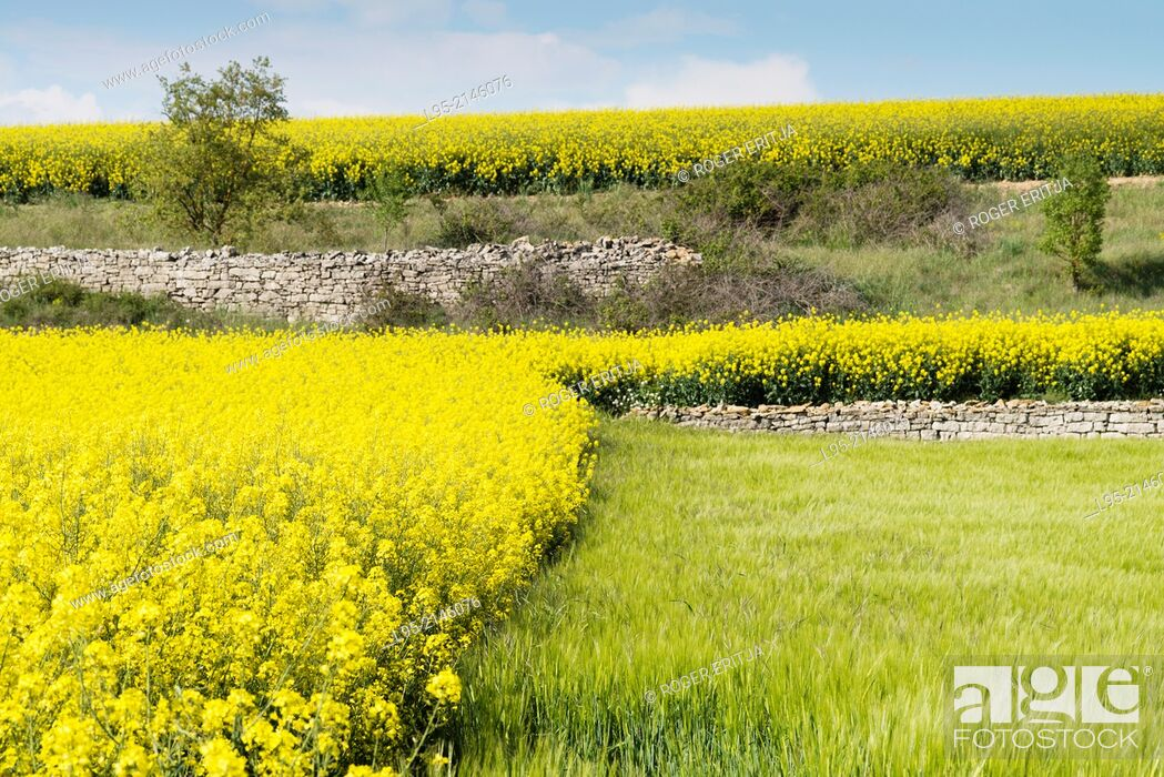 Stock Photo: Fields of Canola Brassica napus flowered in Spring, Spain.