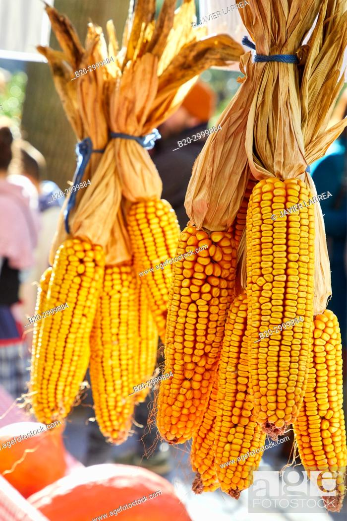 Stock Photo: Corn cobs, Feria de Santo Tomás, The feast of St. Thomas takes place on December 21. During this day San Sebastián is transformed into a rural market.