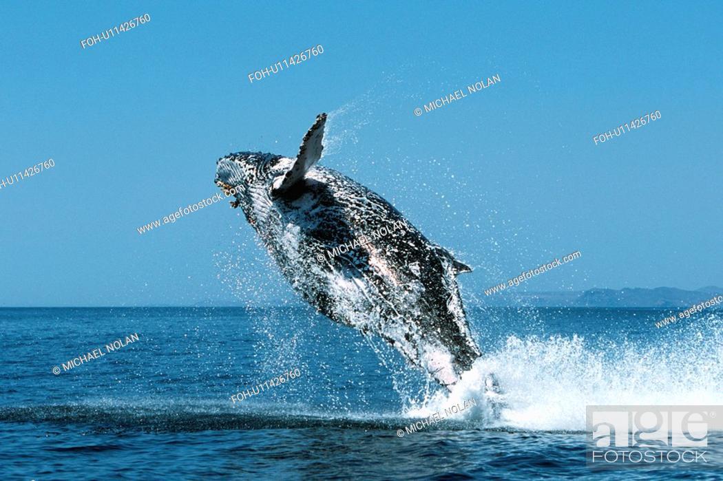 Stock Photo: Sub-adult Humpback Whale, Megaptera novaeangliae, breaching in northern Gulf of California, Mexico.