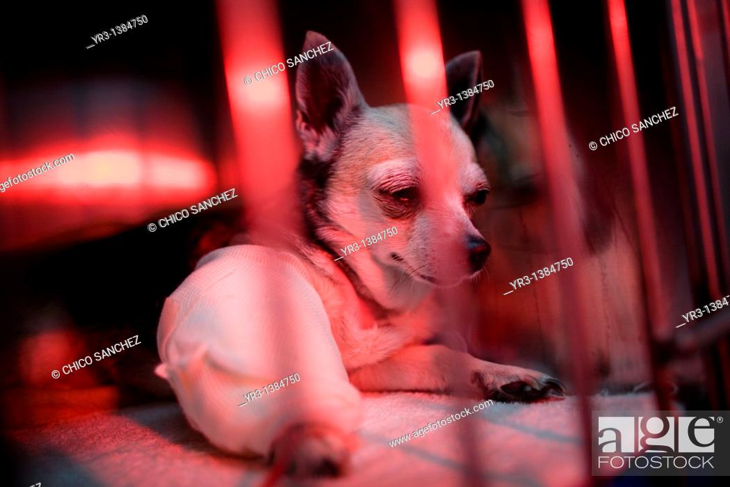 Stock Photo: A chihuahua dog is warmed using a red lamp as he recovers from an illness at a Pet Hospital in Condesa, Mexico City, Mexico, February 22, 2011.
