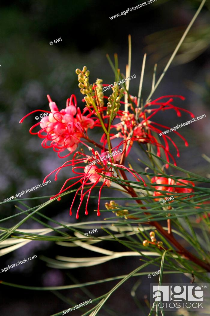 Grevillea Long John Stock Photo Picture And Rights Managed