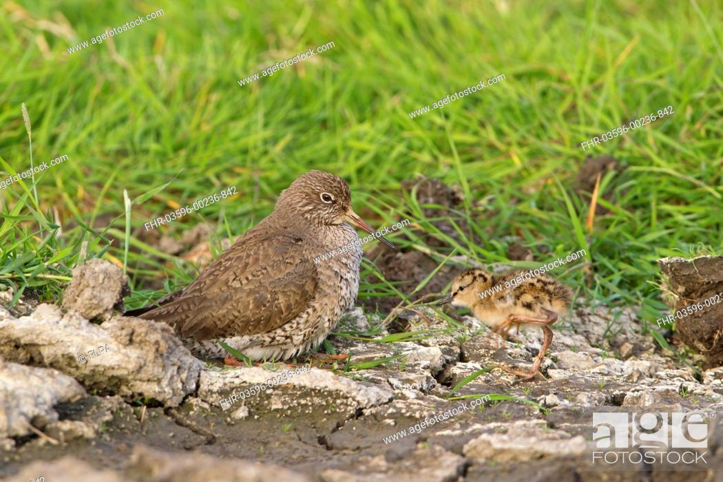 Stock Photo: Common Redshank Tringa totanus adult, crouching down to incubate approaching chick, Suffolk, England, june.