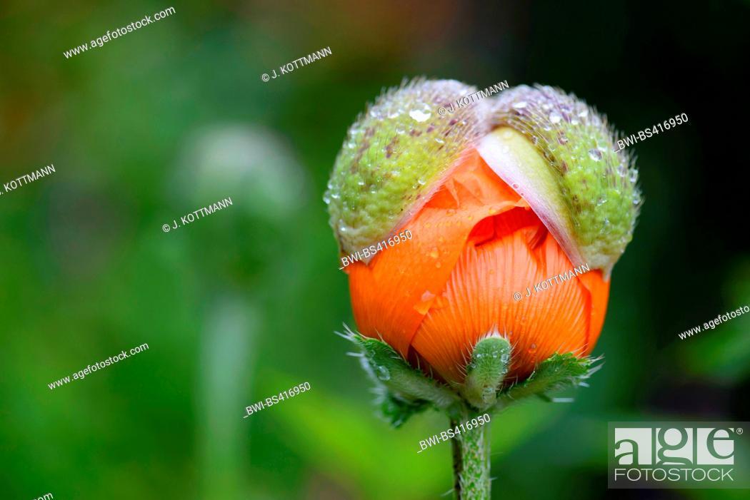 Stock Photo: Oriental poppy (Papaver pseudo-orientale, Papaver pseudoorientale), opening bud.