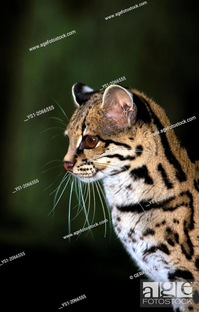 Stock Photo: Margay Cat, leopardus wiedi, Portrait of Adult.