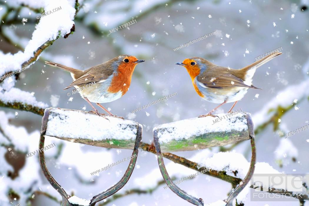 Stock Photo: Robins - perched on spade handles in winter snow.