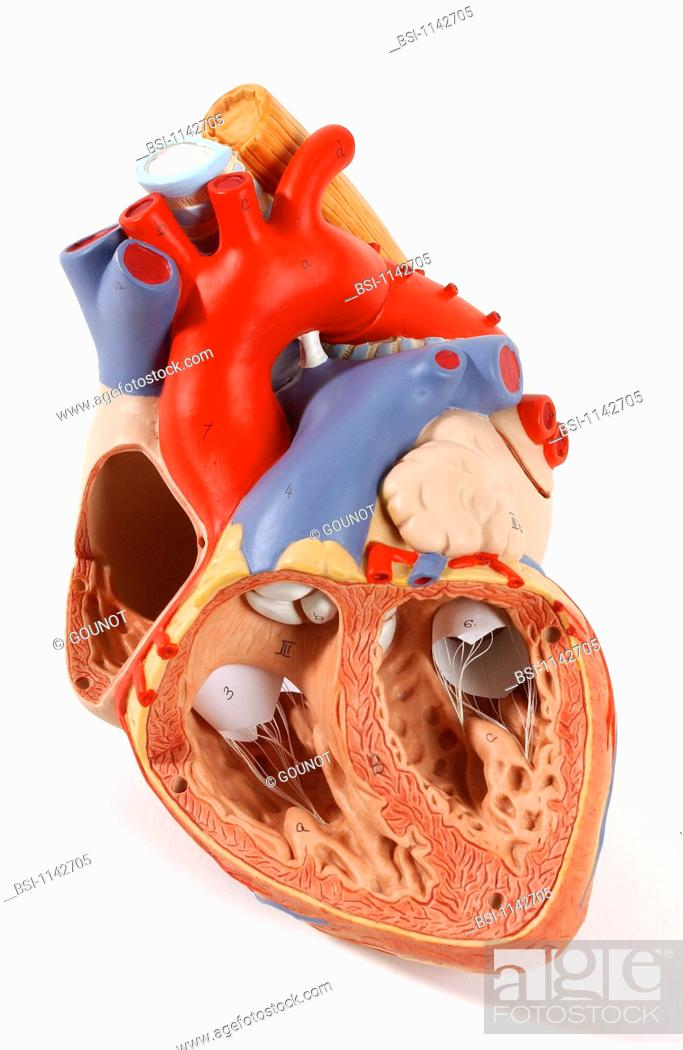 Model of the intern anatomy of the heart of an adult human body ...