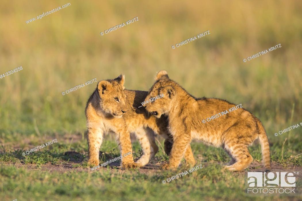 Stock Photo: African Lion cubs, Masai Mara National Reserve, Kenya, East Africa.